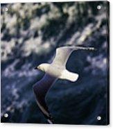 Seagull In Wake Acrylic Print