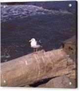 King Of The Seagulls Acrylic Print