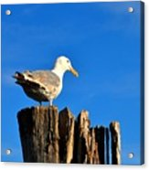 Seagull On A Dock 2 Acrylic Print