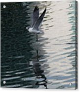 Seagull Reflection Over Blue Bay Acrylic Print