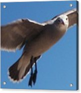 Seagull Sees Me Acrylic Print