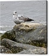 Seagull Sitting On Jetty Acrylic Print