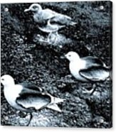 Seagull Trio Acrylic Print