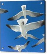 Seagulls #4 Acrylic Print