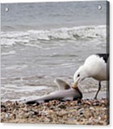 Seagulls Catch Of The Day Acrylic Print