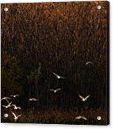 Seagulls In Flight Acrylic Print