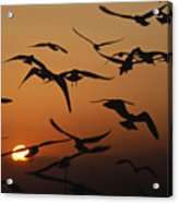 Seagulls In Sunset Acrylic Print