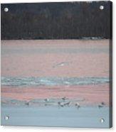 Seagulls On The Potomac Acrylic Print