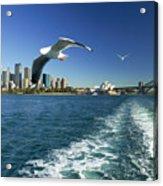 Seagulls Over Sydney Harbor Acrylic Print