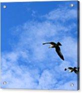 Seagulls2 Acrylic Print