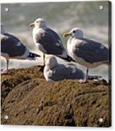 Seaguls Acrylic Print