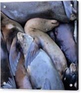 Seal Buddies Acrylic Print