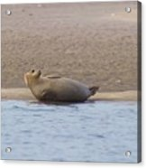 Seal Relaxing On Cupsogue Beach Acrylic Print