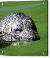 Seal Swimming Portrait Wildlife Scene Acrylic Print