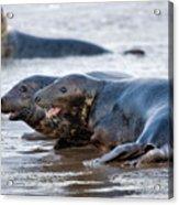 Seals Acrylic Print