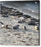 Seals, Seals, And More Seals Acrylic Print