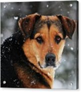 Search And Rescue Dog Acrylic Print