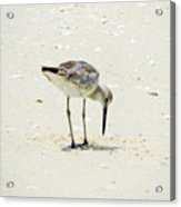 Searching Plover Acrylic Print