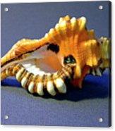 Seashell Cymatium Lotoium Acrylic Print