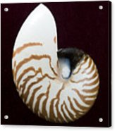 Seashell On Black Background Acrylic Print
