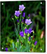 Seaside Gentian Wildflower  Acrylic Print