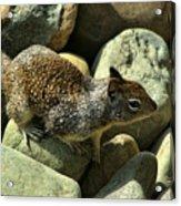 Seaside Ground Squirrel Acrylic Print