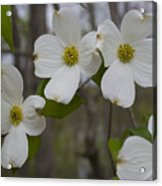 Season Of Dogwood Acrylic Print