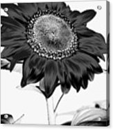 Seattle Sunflower Bw Invert - Stronger Acrylic Print