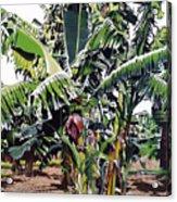 Second Bananas Acrylic Print