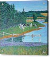 Second Peninsula Cows Acrylic Print