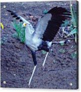 Secretary Bird Running Acrylic Print
