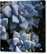 Sedum Clavatum Beautiful Cultivated Stonecrop Acrylic Print