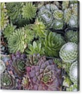 Sedum Plants Used As Green Roof Acrylic Print