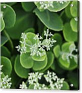 Sedum Pre-bloom Acrylic Print