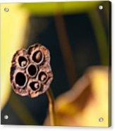 Seed Pod Acrylic Print