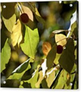 Seed Pods In The Fall Acrylic Print