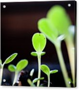Seeding Shoots Coming Up From The Ground Acrylic Print