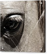 Stillness In The Eye Of A Horse Acrylic Print