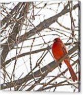 Seeing Red - Northern Cardinal - Cardinalis Cardinalis Acrylic Print