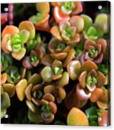 Seeing Succulents Acrylic Print