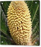 Sago Palm Flower Acrylic Print