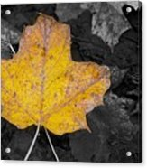 Selective Color Leaf Acrylic Print