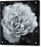 Selenium White Rose Acrylic Print