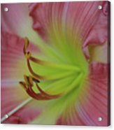 Sensual Pink Lilly Acrylic Print