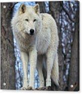 Sentry Wolf Acrylic Print