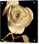 Sepia Antique Rose Acrylic Print by M K  Miller