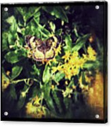 Sepia Butterfly Acrylic Print