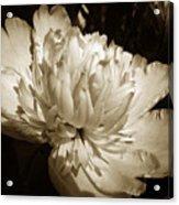 Sepia Peony Flower Art Acrylic Print