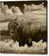 Sepia Toned Photograph Of An American Buffalo Acrylic Print