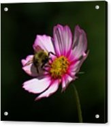 September Bee On Cosmos Acrylic Print